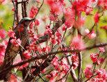 홍매화 속 봄 사냥꾼