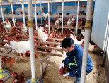 먹기에 딱 좋은 닭의 무게는?