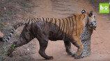 호랑이가 표범을 사냥하는 장면 '포착'