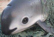 """'바다의 판다' 바키타 돌고래, 멸종 위기… """"전 세계 단 30마리"""""""