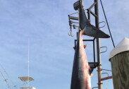 사상 최대 크기의 상어, 공식 기록 '불인정'… 왜?