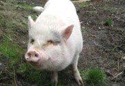 학대 받던 돼지 입양하더니… 한 달만에 잡아먹은 부부
