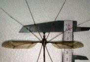 세계에서 가장 큰 모기 발견, 그 크기가 무려…