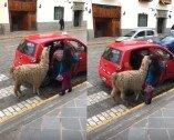 """""""저도 승객입니다""""…택시 탑승하는 라마 '화제'"""