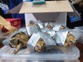공항서 테이프 감긴 거북이 1500마리 발견…충격!
