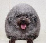 """솜사탕처럼 생긴 강아지, """"안아보고 싶어"""" 인기 폭발"""