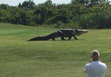 """골프장에 나타난 5m 거대 악어…""""2년 만에 재등장"""""""