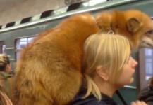 지하철 승객들 시선 강탈…반려여우와 외출한 여성