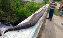 [초대형 뱀] 철길 옆에 몸길이 8m 뱀, 주민들 칼 들고 다가가…