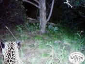 [동물] 지금껏 일반에 공개된 적 없는 美 유일 야생 재규어 영상