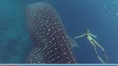 미녀 생물학자, 12미터 고래상어와 수영해