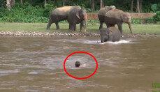 급류에 떠내려가는 조련사 구한 코끼리