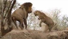 사자 공격에 깜짝 놀란 표범…결과는?