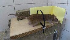 케이블 타이로 쥐를 잡는다? … '재미있네'
