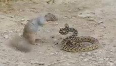 뱀을 사냥하는 다람쥐…이유는?