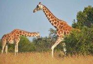 기린이 어쩌다… '멸종취약종' 지정