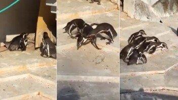 """[영상] """"혹시 바람 피웠나""""… 집단 구타 당하는 펭귄"""