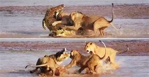 사자 셋 vs 악어 하나, 승자는?