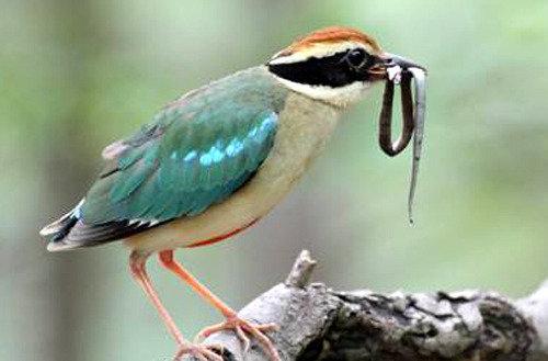 濒危物种八色鸟捕食幼蛇的场面首次被拍到