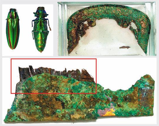 在金冠冢出土的新罗时代的韂中首次发现彩虹吉丁虫装饰