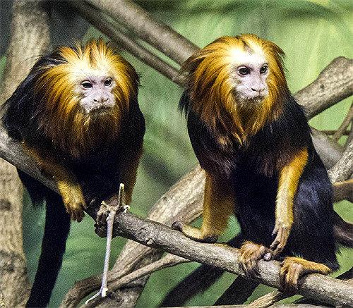 Everland zoo unveils golden-headed lion tamarins