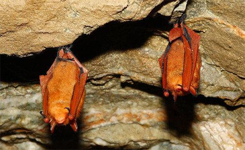Korean researchers decode genome of red bats