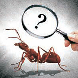 Finding a queen fire ant