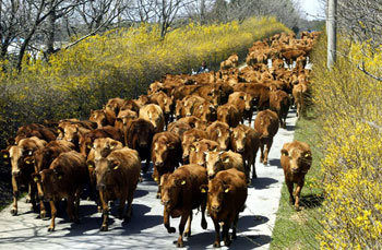 200 Korean Cows Take a Walk