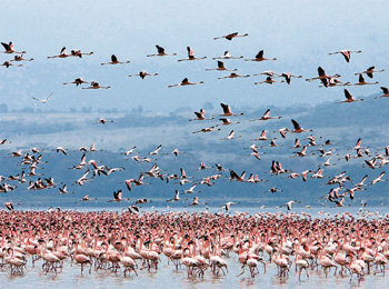 A sea of pink flamingos