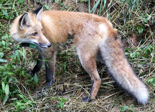 小白山の雌狐13頭を自然に返す