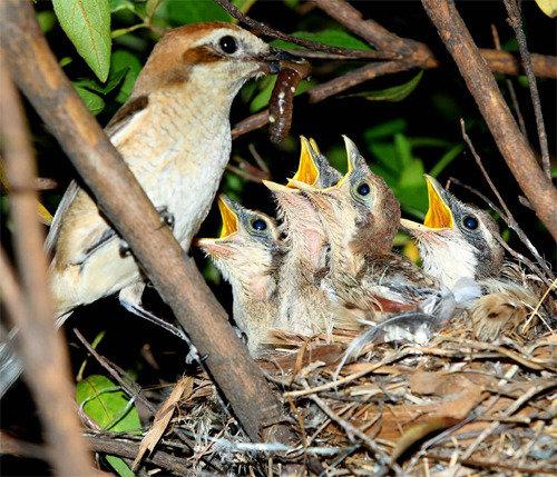 南山公園で小型猛禽「モズ」の繁殖を確認