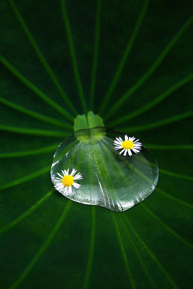"""물들지 않는 군자의 꽃… """"연꽃, 너 참 아름답구나"""""""