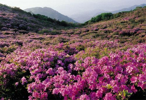 진홍 철쭉숲 피내음에 취하고 청정도량 해인의 薰香에 깨다