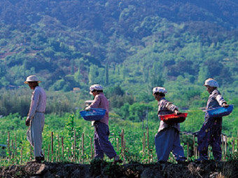 茶 땅, 물, 햇볕의 조화가 이루어낸 품격 있는 향기