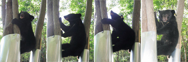 '첫 단추' 잘못 끼운 반달가슴곰 복원계획