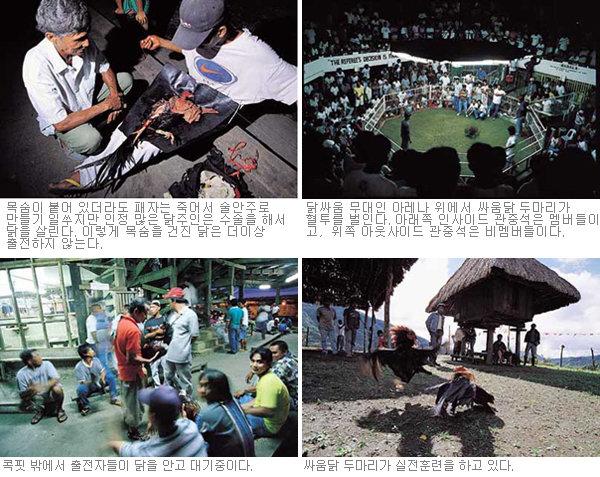 필리핀 전통의 닭싸움 도박판