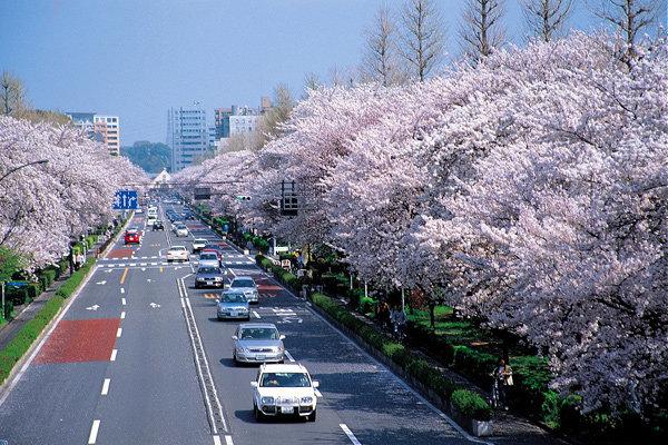 '4월 이야기', 도쿄의 벚꽃
