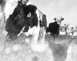인간광우병, 국산 쇠고기도 안전지대 아니다!