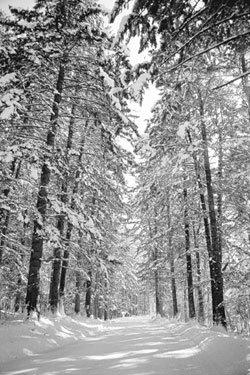 월정사, 겨울 전나무 숲의 오연(傲然)