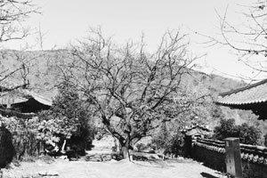 봄을 부르는 선암사 고매(古梅)