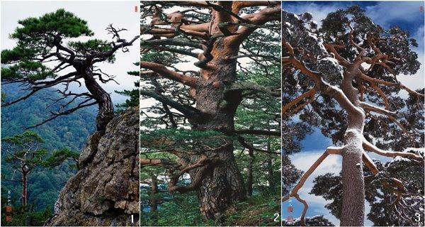 한국의소나무