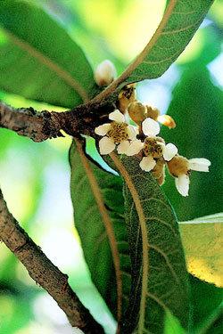 항암, 강력 진통 효과…대약왕수(大藥王樹), 비파나무