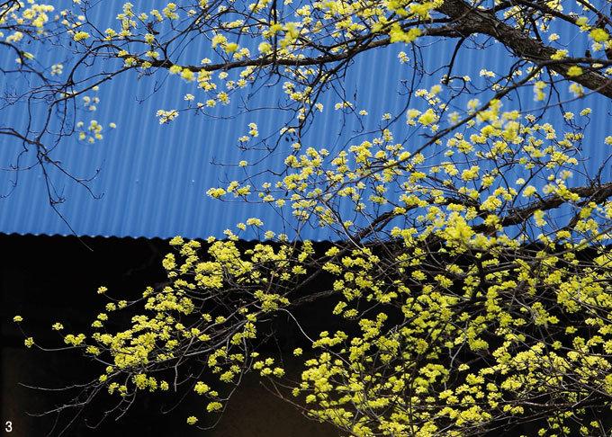 남한강변 물들인 황금빛 '봄의 전령'
