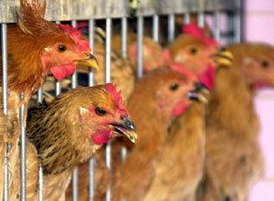 왜 우리는 1.5㎏ 닭만 먹을까