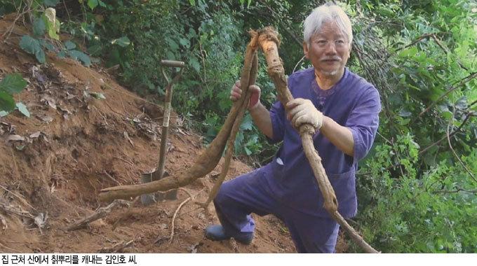 간 해독하는 '땅속의 진주' 칡 간암 환자 살려낸  흰민들레