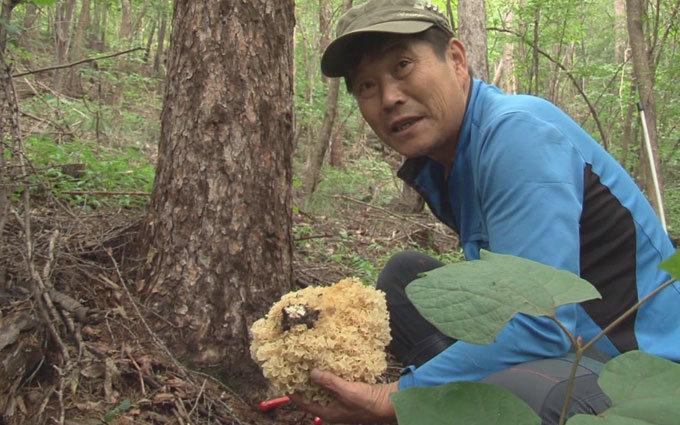 약이 되는 균 꽃송이버섯 당뇨 잡은 조미료 죽염