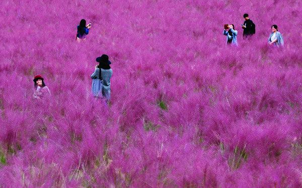 분홍 솜사탕 같은 핑크뮬리