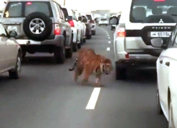 <span class=highlight>호랑이</span>가 고속도로에…알고보니 흔한 펫?