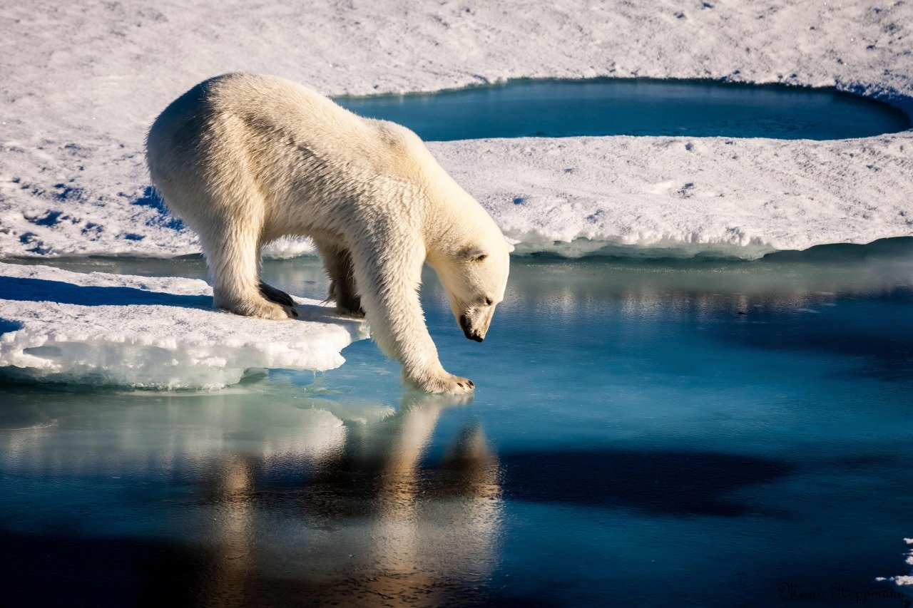 """""""북극곰, 2050년대에는 30% 감소할 것"""""""