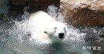 """""""한국 여름 잊지마, 통키""""… 마산서 태어난 23세 북극곰, 11월 영국으로 '요양이민'"""